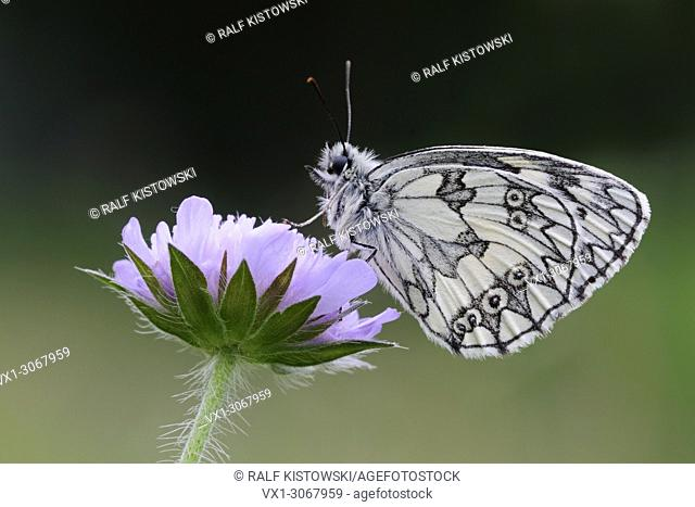 Close up of Marbled White Butterfly ( Melanargia galathea ), resting on Field Scabious (Knautia arvensis), wildlife, Europe