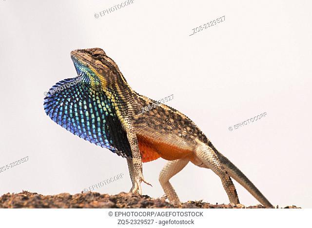 Fan throated Lizard Sitana sp. Family: Agamidae, Chalkewadi, Satara, India