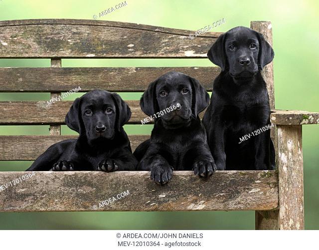 DOG. Black Labrador puppies x3 on a garden bench 9 weeks old DOG. Black Labrador puppies x3 on a garden bench 9 weeks old