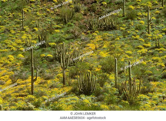 Poppies, Organ Pipe and Saguaro Cacti on Slope of Ajo Mt., Organ Pipe Cactus N.M., Arizona