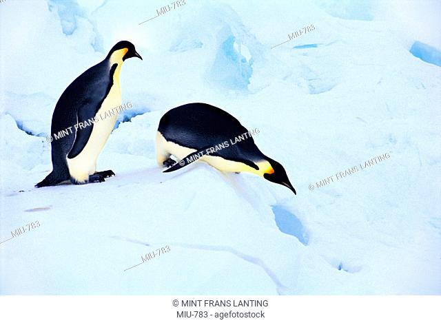 Emperor penguins sliding down ice slope, Aptenodytes forsteri, Weddell Sea, Antarctica