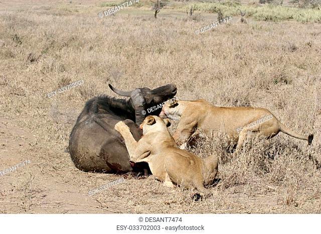 lion eating bull in blood after hunting wild dangerous mammal africa savannah Kenya