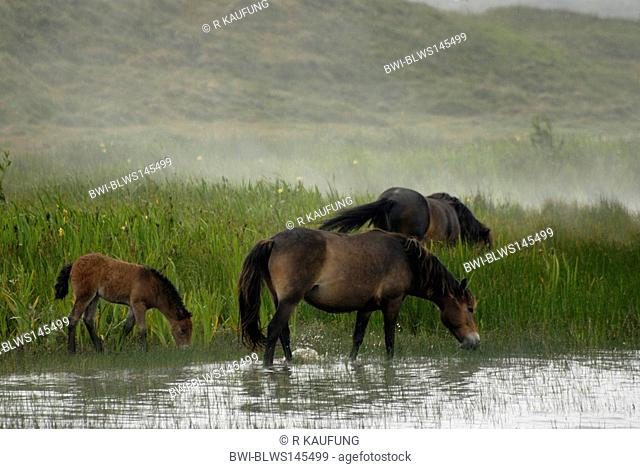 Exmoor pony Equus przewalskii f. caballus, Free ranging herd in swamp side-face in water standing at fog on the island of Texel, Netherlands, Texel