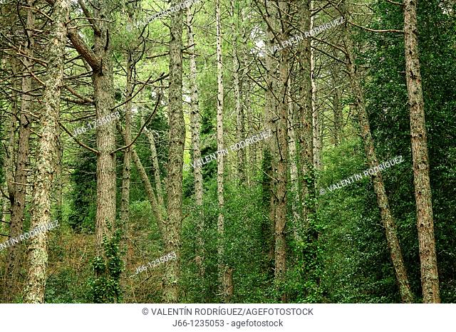 Pines, Sierra de Cazorla, Jaen province, Andalusia, Spain