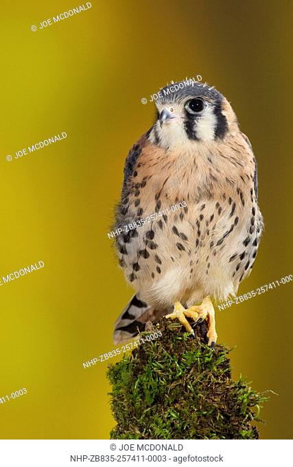 American Kestrel, Falco sparverius, on tree limb, controlled situation, Central Pennsylvania, United States