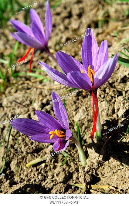 Autumn Crocuses, Saffron flower, Crocus sativus, with the typical three red stigmas, Mund, Valais, Switzerland