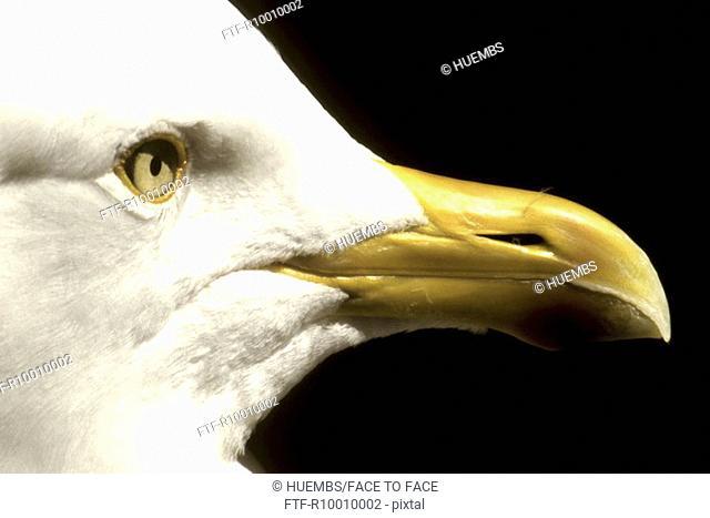 Head of a seagull