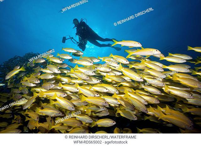 Shoal of Bigeye Snapper, Lutjanus lutjanus, Great Barrier Reef, Australia