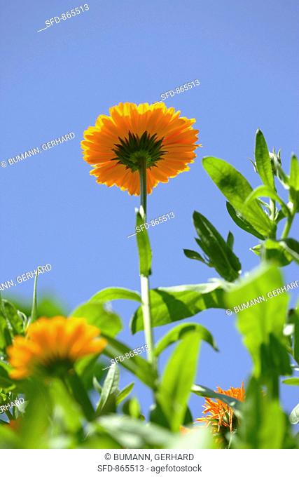 Marigolds in the open air against a blue sky