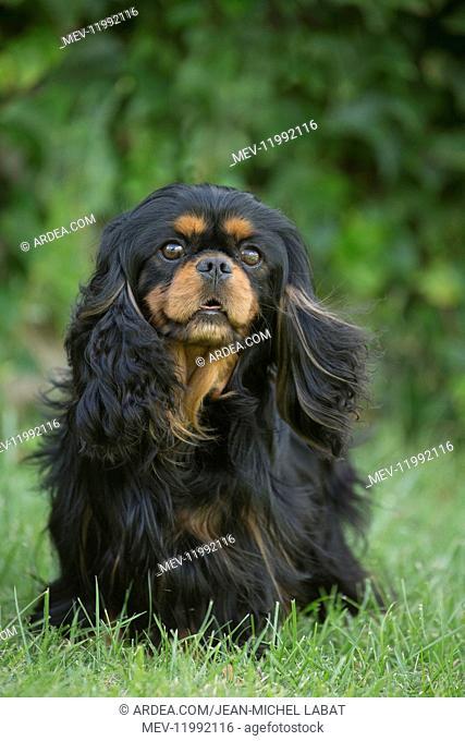 Cavalier King Charles Spaniel Dog outdoors