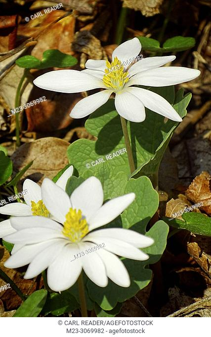 A vertical compostion with bloodroot, Sanguinaria canadensis, Pennsylvania,USA