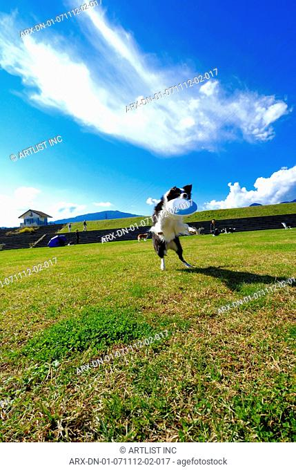 A dog playing Frisbee outside