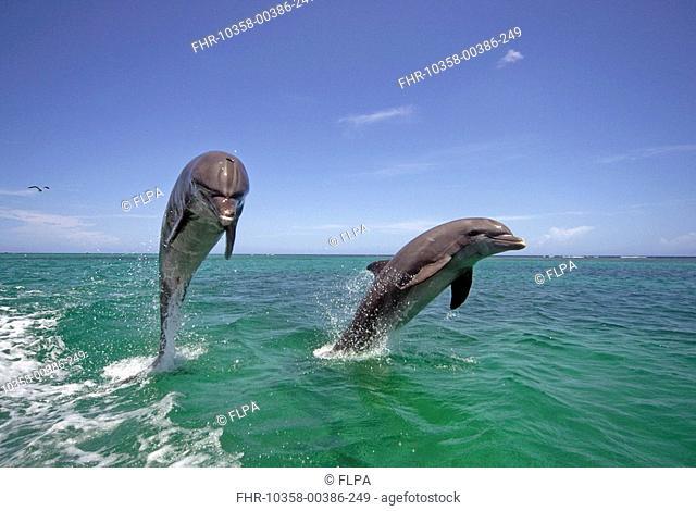 Bottle-nosed Dolphin Tursiops truncatus Adults leaping from water, Roatan, Honduras, Caribbean Sea