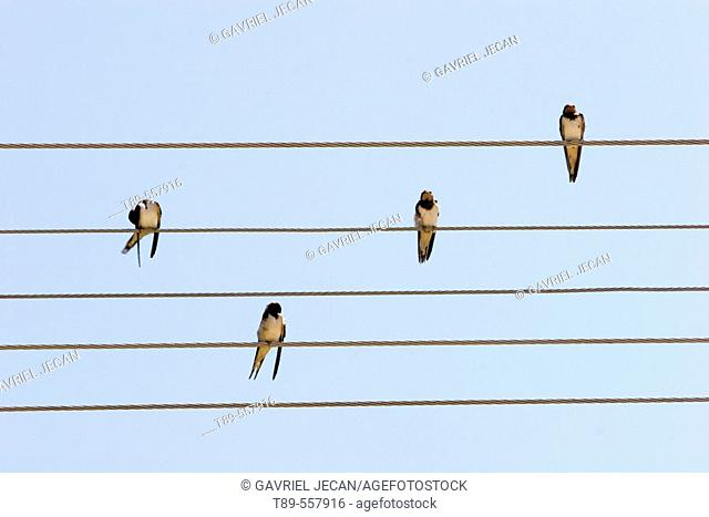 Romania , Bertani, Swallows (Hirundo rustica) on the Wire, The swallows and martins are a group of passerine birds in the family Hirundinidae which are...