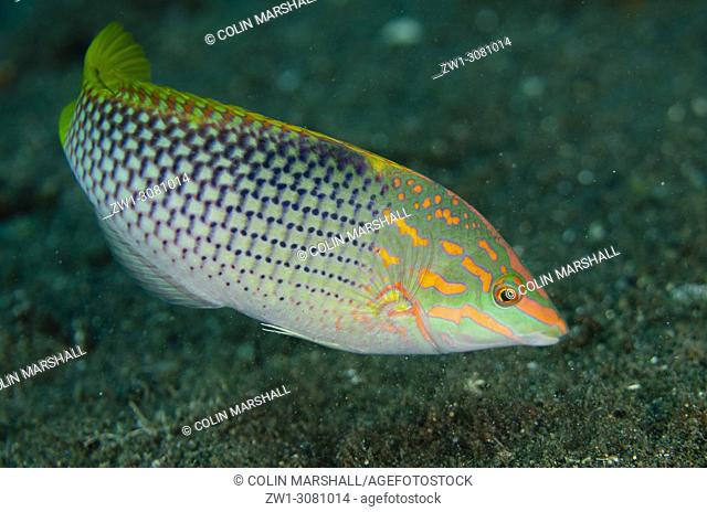 Checkerboard Wrasse (Halichoeres hortulanus, Labridae family), USAT (US Army Transport) Liberty Wreck dive site, Tulamben, east Bali, Indonesia