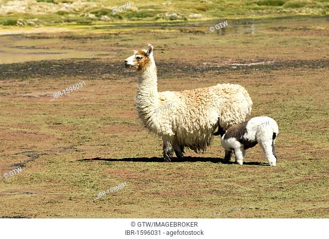 Llama (Lama glama) with young, Atacama Desert, Antofagasta region, Chile, South America