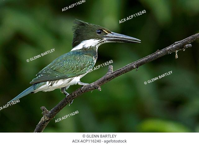 Amazon Kingfisher (Chloroceryle amazona) perched on a branch in the grasslands of Guyana