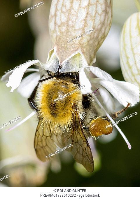 Common carder bee (Bombus pascuorum) sitting on bladder campion blossom (Silene vulgaris) / Ackerhummel (Bombus pascuorum) sitzt auf Taubenkropf-Leimkraut-Blüte...