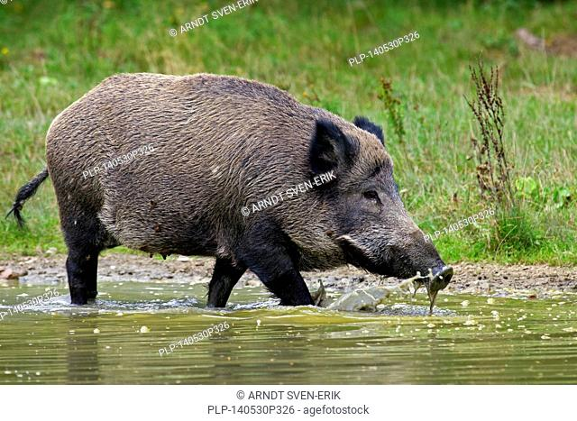 Wild boar (Sus scrofa) sow drinking water from pond in summer