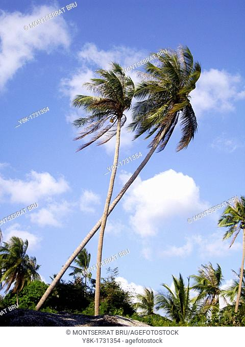 Two palmtrees against deep blue sky with some white clouds in Koh Phangan, Thailand