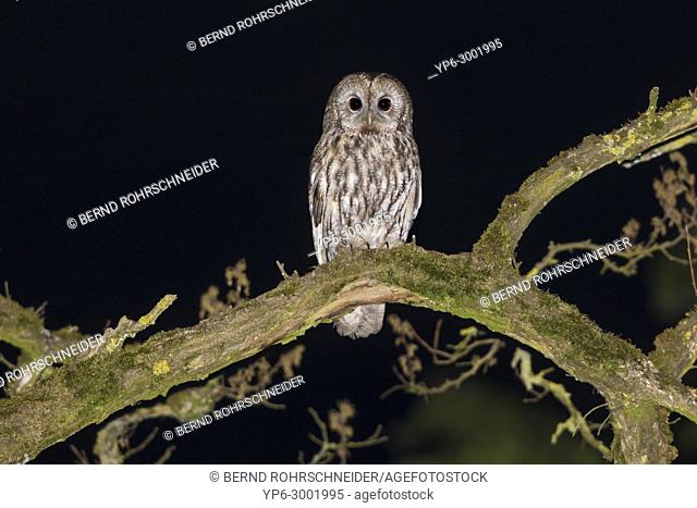 Tawny owl (Strix aluco), adult perched on branch at night, Trier, Rhineland-Palatinate, Germany