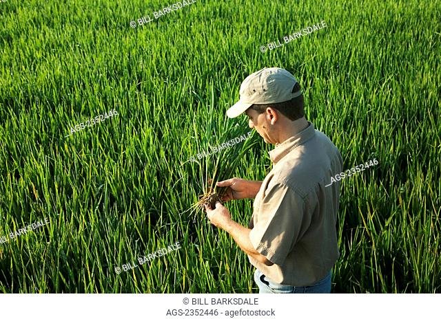 Agriculture - A farmer (grower) in his field inspects his mid growth rice plant at the early head formation stage / Arkansas, USA