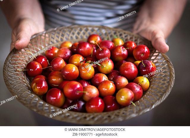 Farmer holds a platter with freshli picked plums-Prunus cerasifera