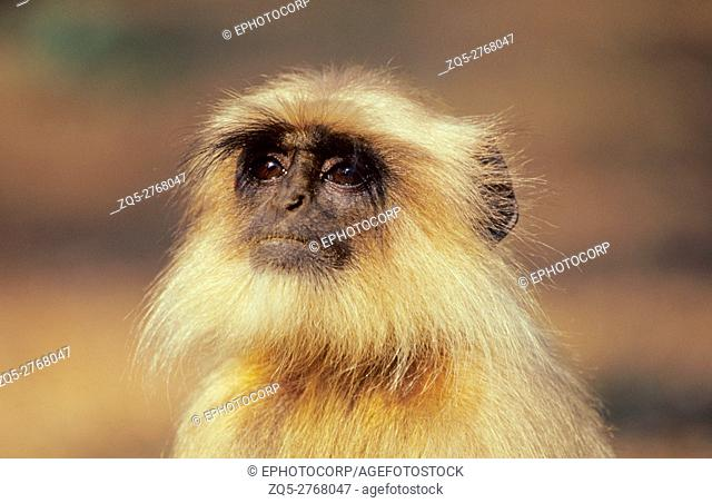 Common Langur, Prsbytis entellus, Kanha National Park, Madhya Pradesh, India