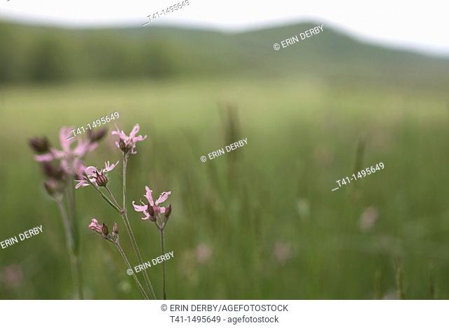 A soft focus field of green with purple flowers in focus