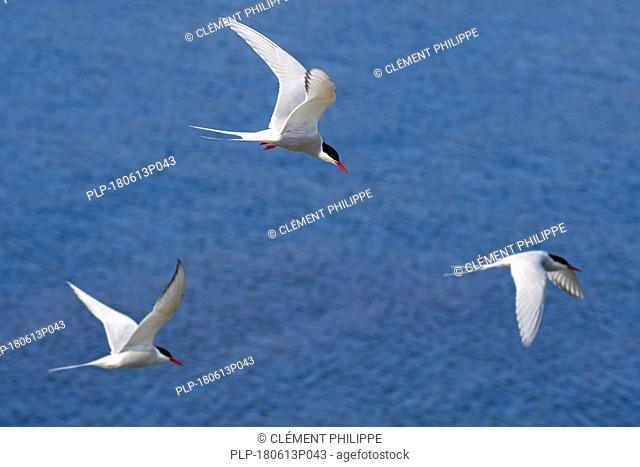 Three Arctic terns (Sterna paradisaea) flying and fishing over sea / Atlantic Ocean, Scotland, UK