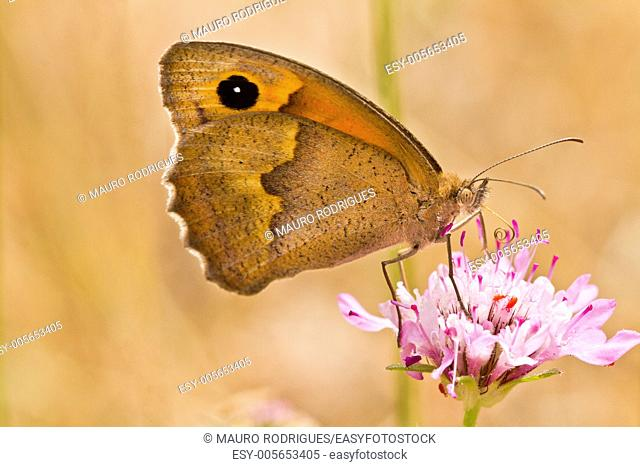 Close up view of the beautiful butterfly Small Heath (Coenonympha pamphilus) insect