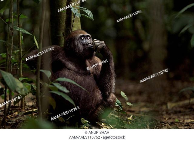 Western lowland gorilla juvenile male 'Mobangi' aged 5 years feeding on fruit while sitting on the forest floor (Gorilla gorilla gorilla)