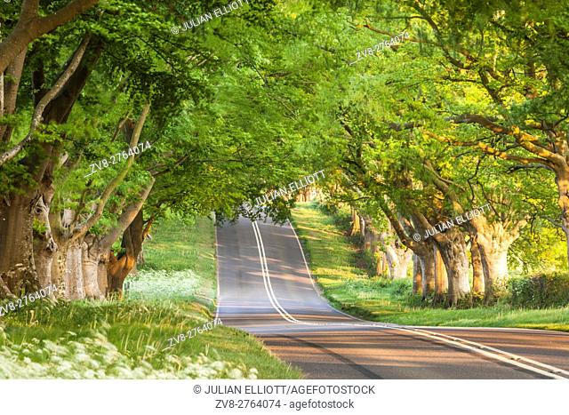 Beech tree avenue, Kingston Lacy, Dorset