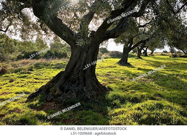 Olive trees near the beach on Sierra de Irta Natural park, Peñiscola, Castellón