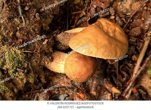 Mushrooms in the Sierra de Aralar. Navarra