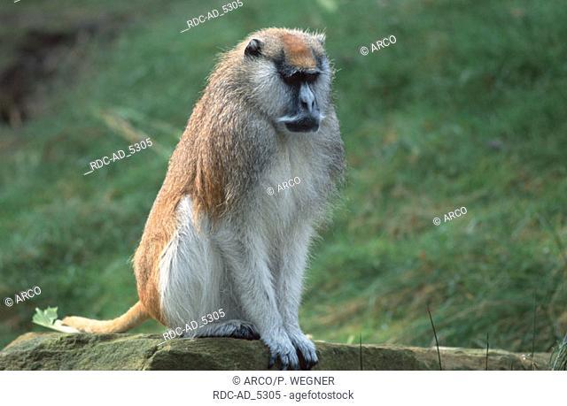 Patas Monkey male Erythrocebus patas