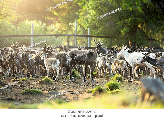 Herd of Svalbard reindeer