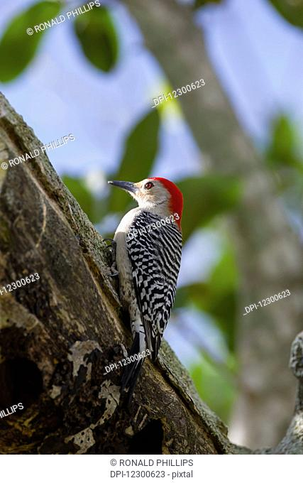 Red-bellied Woodpecker (Melanerpes carolinus), Everglades National Park; Florida, United States of America