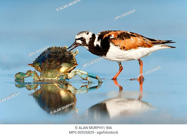 Ruddy Turnstone (Arenaria interpres) scavenging on a dead crab, Texas
