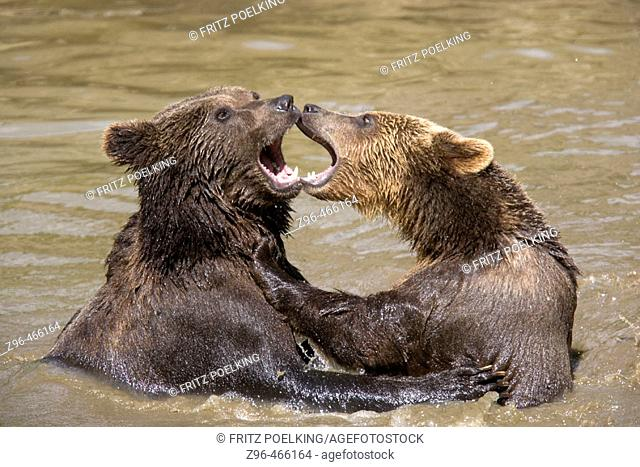 European Brown Bears (Ursus arctos). Captive, National Park Bavarian Forest, Germany