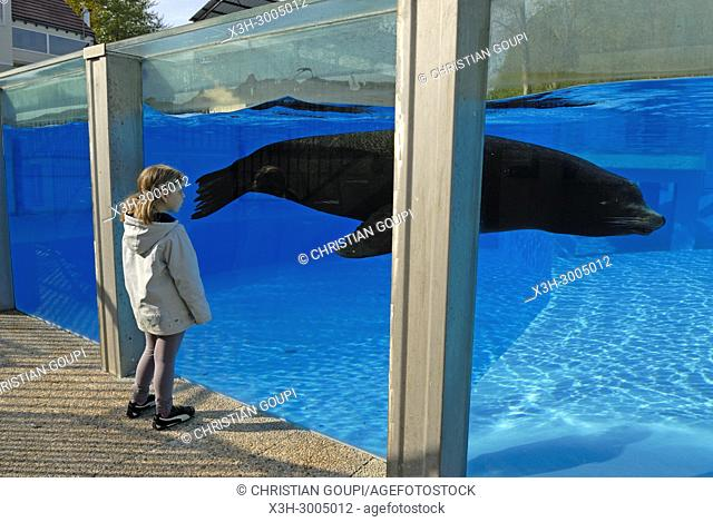 little girl watching California sea lion (Zalophus californianus), ZooParc de Beauval, Loir-et-Cher department, Centre-Val de Loire region, France, Europe
