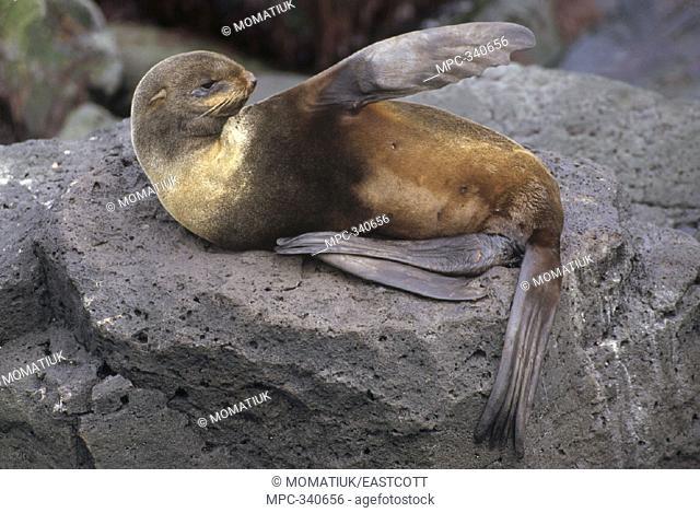 NORTHERN FUR SEAL (Callorhinus ursinus), FEMALE RAISING FRONT FLIPPER TO COOL HERSELF, ST. PAUL ISLAND, THE PRIBILOFS, ALASKA