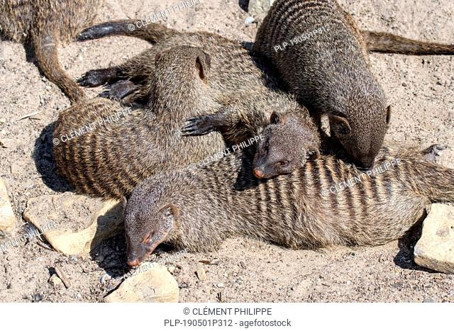 Snuggling banded mongooses (Mungos mungo) sleeping / resting huddled together in banded mongoose colony, native to Africa