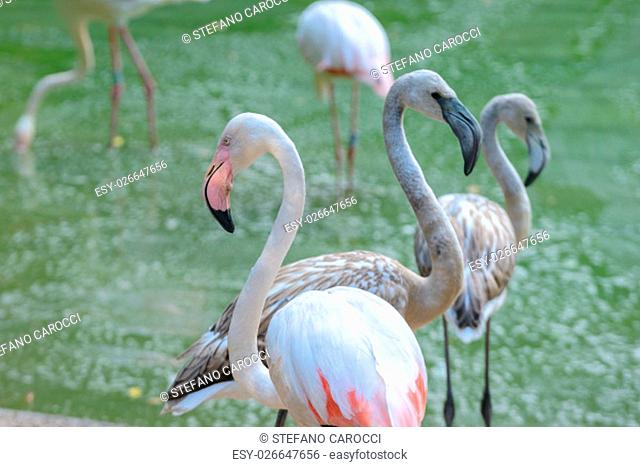wonderful Flamingos in a little public lake walking