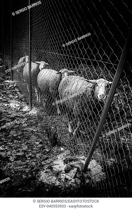 Sheep eating on the farm, Spain