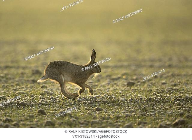 Brown Hare / European Hare ( Lepus europaeus ), early morning mood, nice backlit, running over field, side view