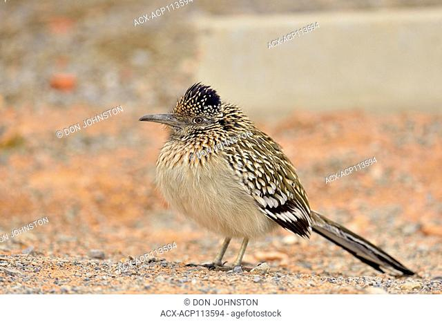 Greater roadrunner, hunting, Valley of Fire State Park, Nevada, USA