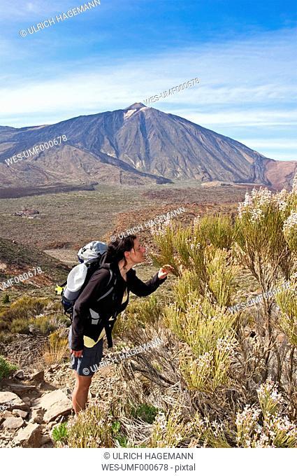 Spain, Canary Islands, Tenerife, Los Roques de Garcia, Mount Teide, Teide National Park, Female hiker smelling Retama del Teide, Cytisus supranubius