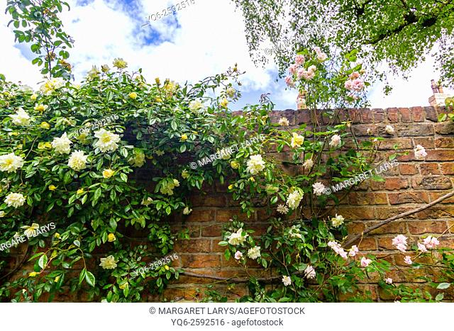 Pink climbing roses on the wall, English walled garden, United Kingdom
