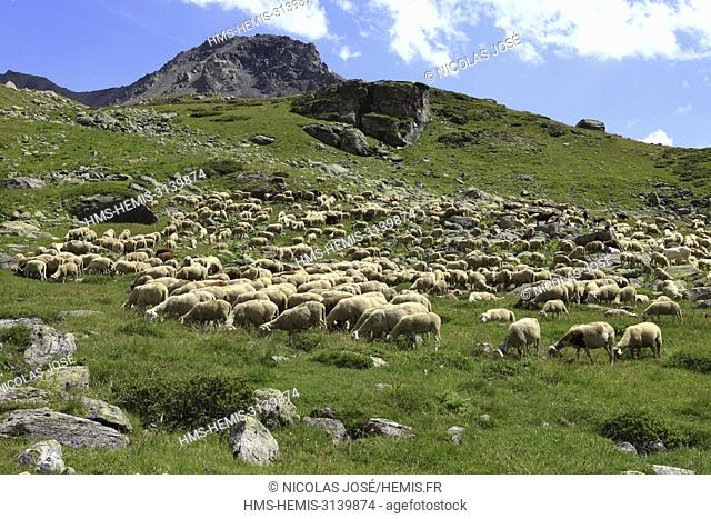 France, Hautes Alpes, Briançonnais, Claree valley, GR of country of the tour of Mont Thabor, Flock of sheep